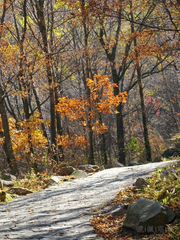 滦赤路主要的红叶是爬山虎和枫树,213省道路边红叶大多是黄栌,颜色