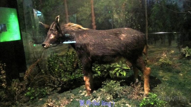 鬣羚为国家二级保护野生动物