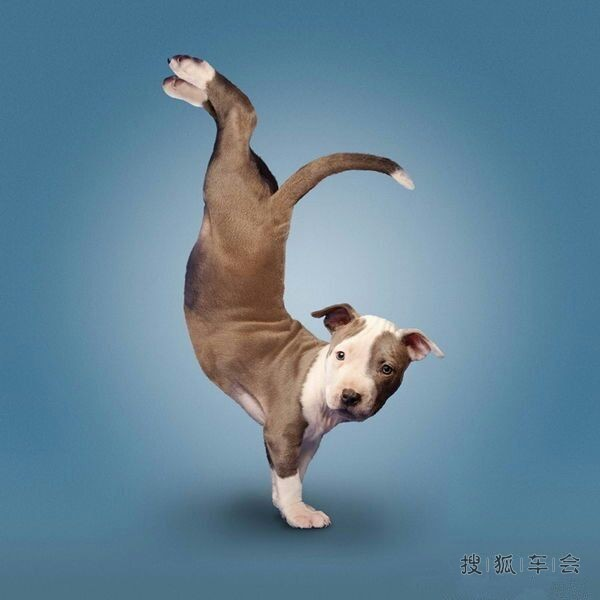 马年新春快快乐!动物瑜伽太搞笑