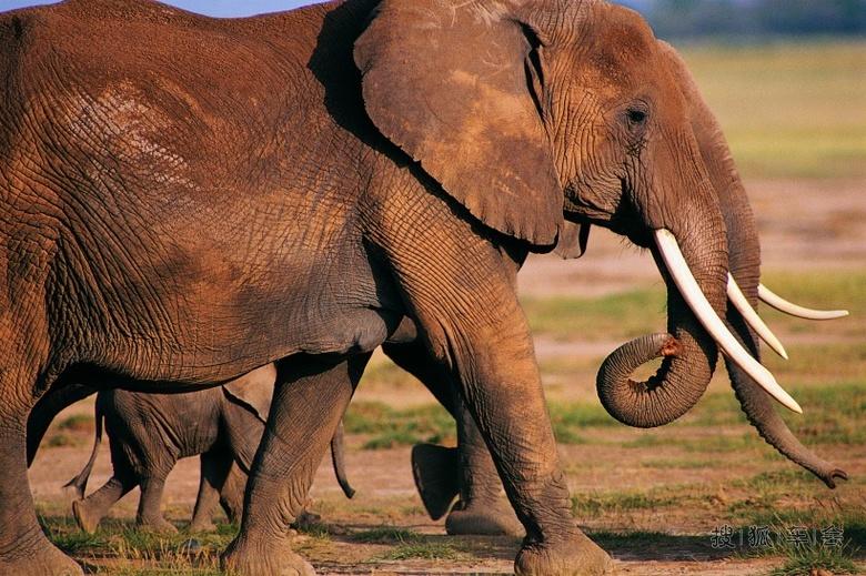 介绍 象,是现存世界最大的陆生动物,平均每天能消耗75~150千克植物。尽管有一个巨型的胃和19米长的肠子,但是它的消化能力却相当差。它们主要外部特征为柔韧而肌肉发达的长鼻和扇大的耳朵,具缠卷的功能,是象自卫和取食的有力工具。亚洲象历史上曾广布于中国长江以南(最远曾达到河南省)的南亚和东南亚地区,喜欢群居,现分布范围已缩小。